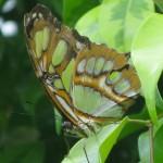 papillonvert1